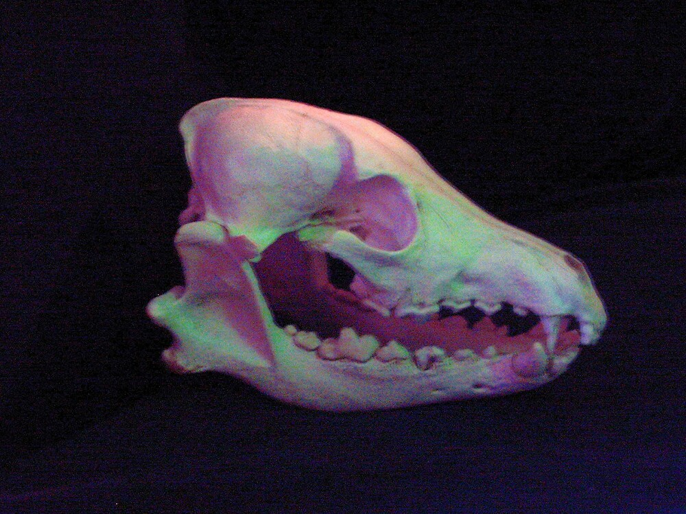 Coyote Skull by mscristal
