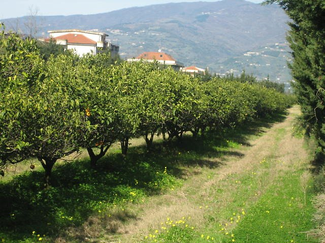 Orange trees in Calabria -Italy by Marichelle