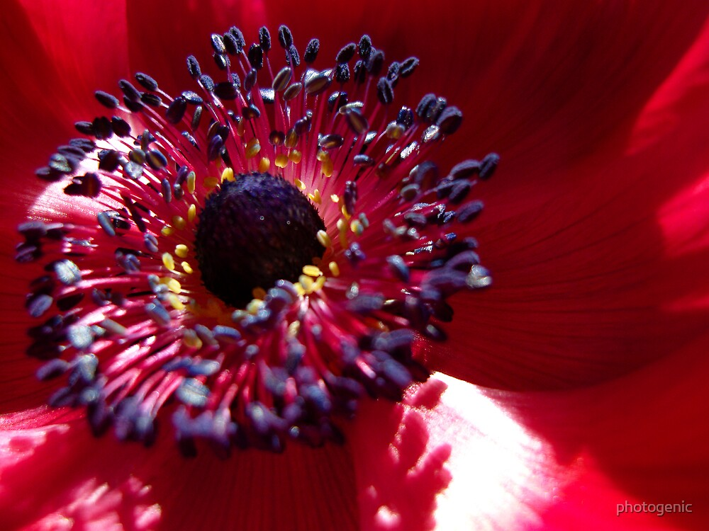 anemone by photogenic