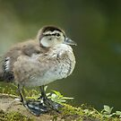 young wood duck by AlRobinson
