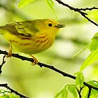 Yellow Warbler  by lorilee