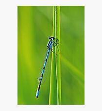 Bluet on Green Photographic Print