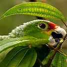 Red-Lored Parrot by Richard G Witham