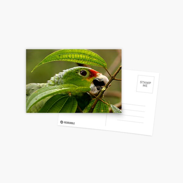 Red-Lored Parrot Postcard