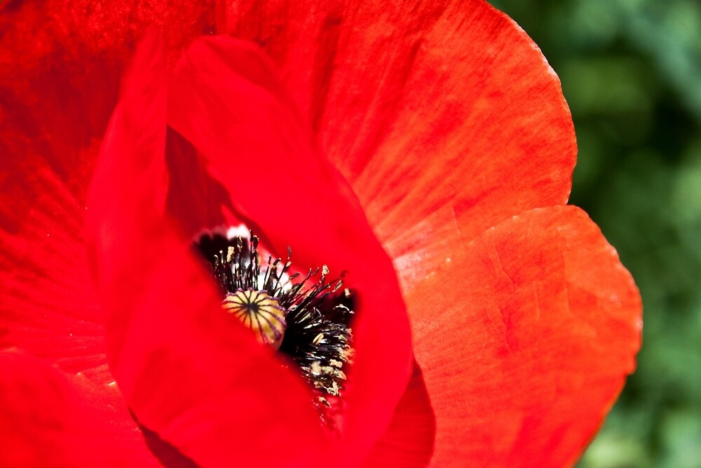 Anatomy of a Poppy: Red Lips by Megan Campbell