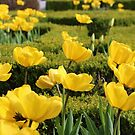 sunshine tulips by debfaraday