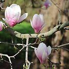 magnolia trio by debfaraday