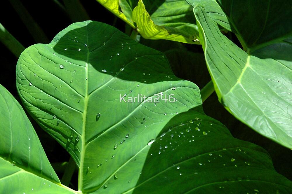 "Dewdrops on ""Elephant Ears"" by Karlita246"