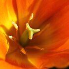 Inside a Tulip by cuprum
