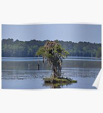 Bald Eagle On Cypress Poster