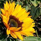 Sunflower by Samm Poirier