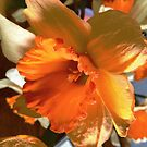 Daffodil by Shulie1
