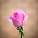 Pink Rose Bud by DPalmer
