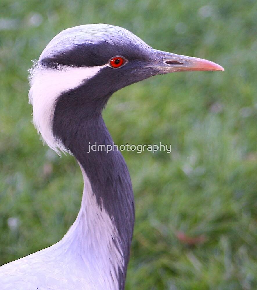 Demoiselle Crane (Head) by jdmphotography