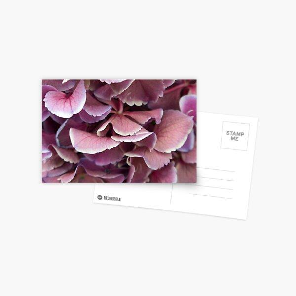 Pink hydrangeas Postcard