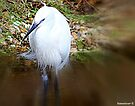 White Heron by naturelover