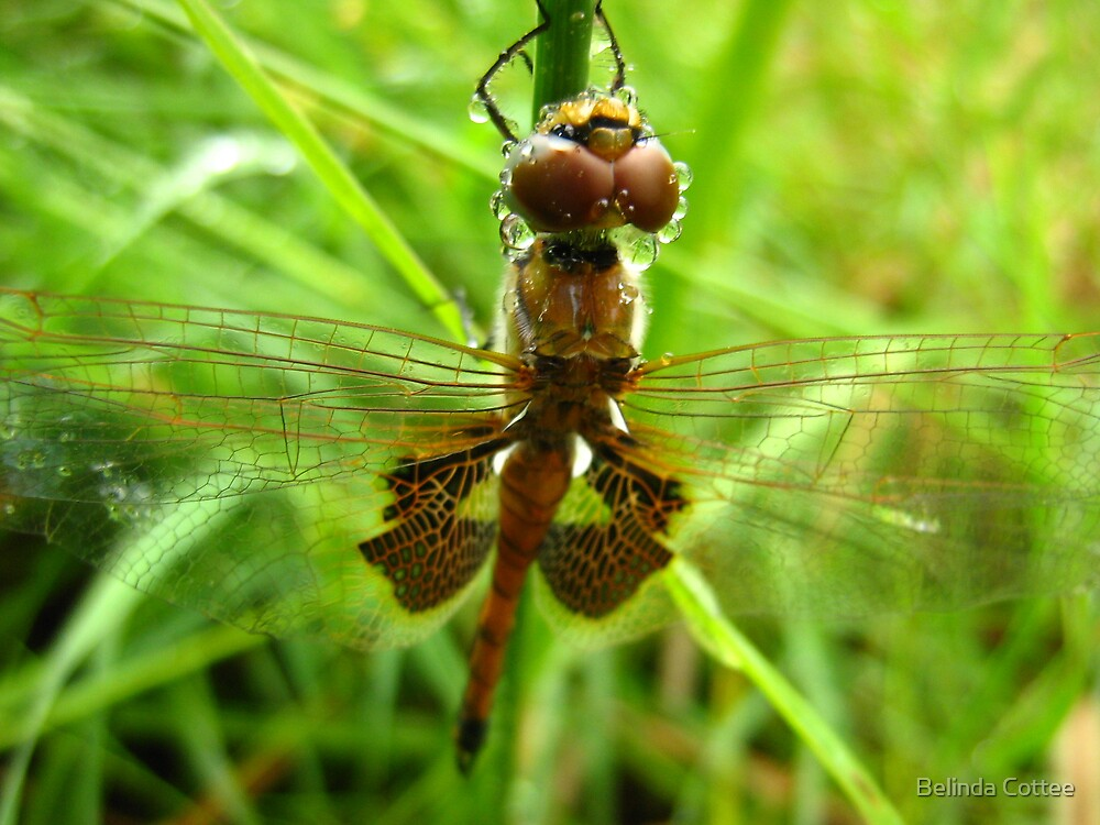 dragonfly in the rain by Belinda Cottee