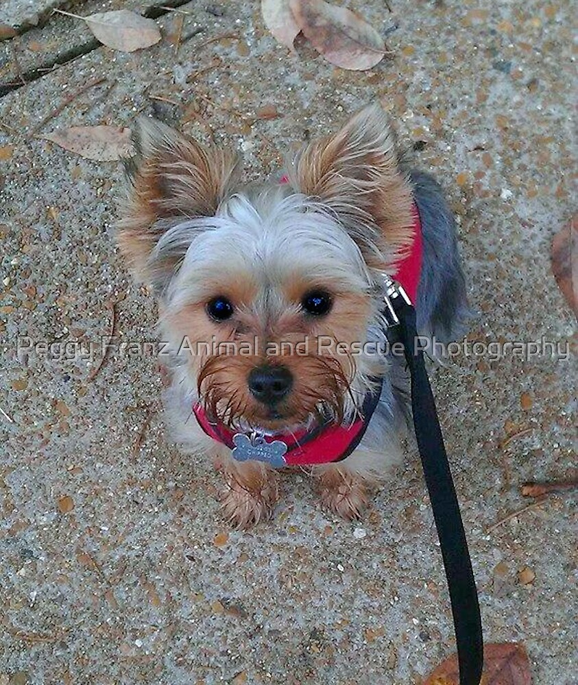 Cute Little Yorkie  Personal Request by Peggy Franz Animal and Rescue Photography