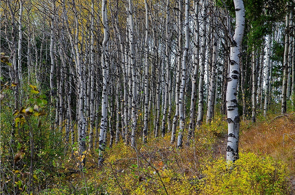 Fall Aspens by KamloopsCam