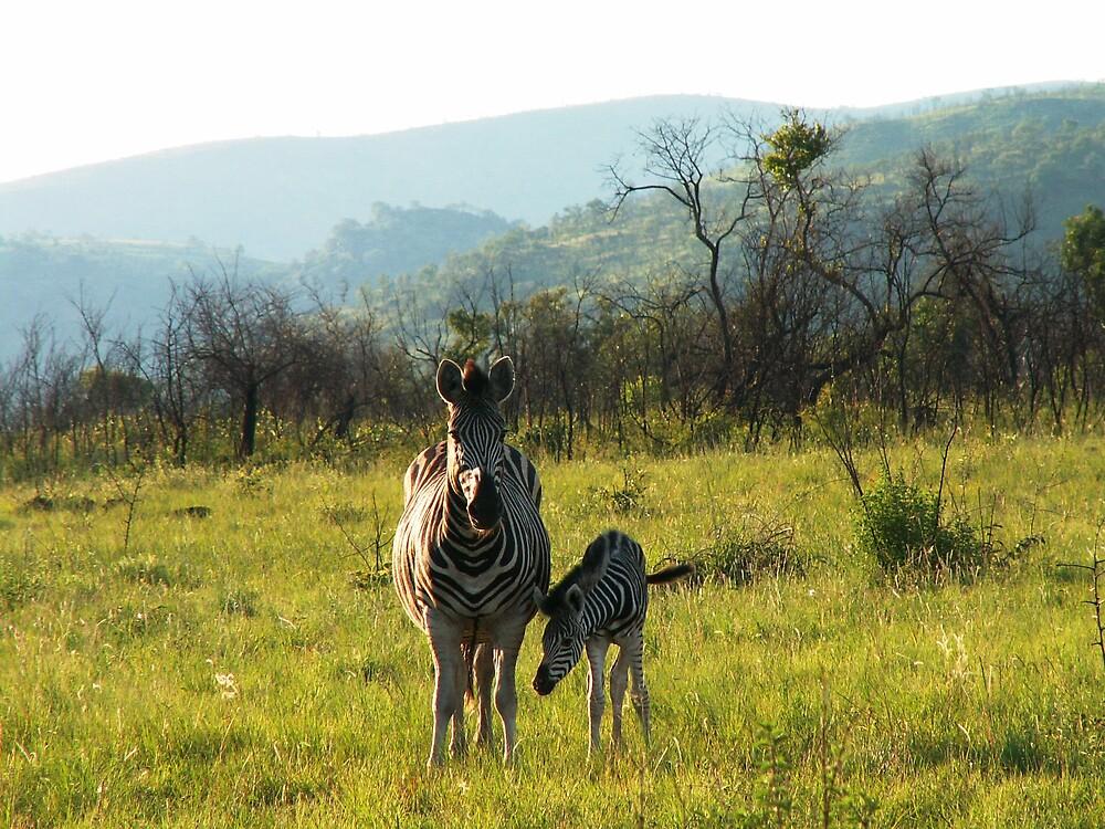 Zebra. by GRAEMEGM