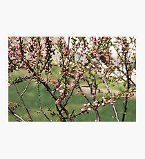 Pink popcorn bush Photographic Print