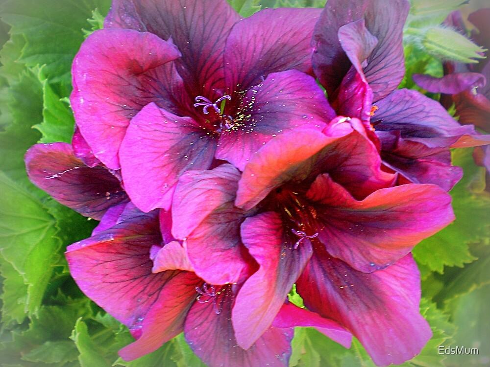 Pelargonium - Purple shade by EdsMum