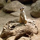 Photograph : Meercat ... on alert! by Roz McQuillan