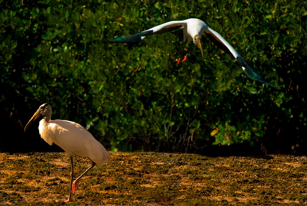 Wood Storks by Michael Wolf