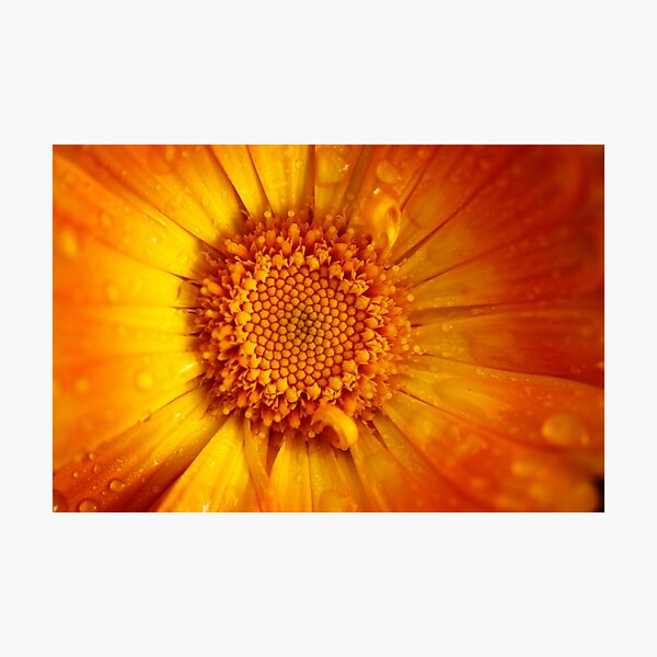 orange calendula after rain Photographic Print