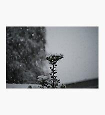 Snow Holly Photographic Print