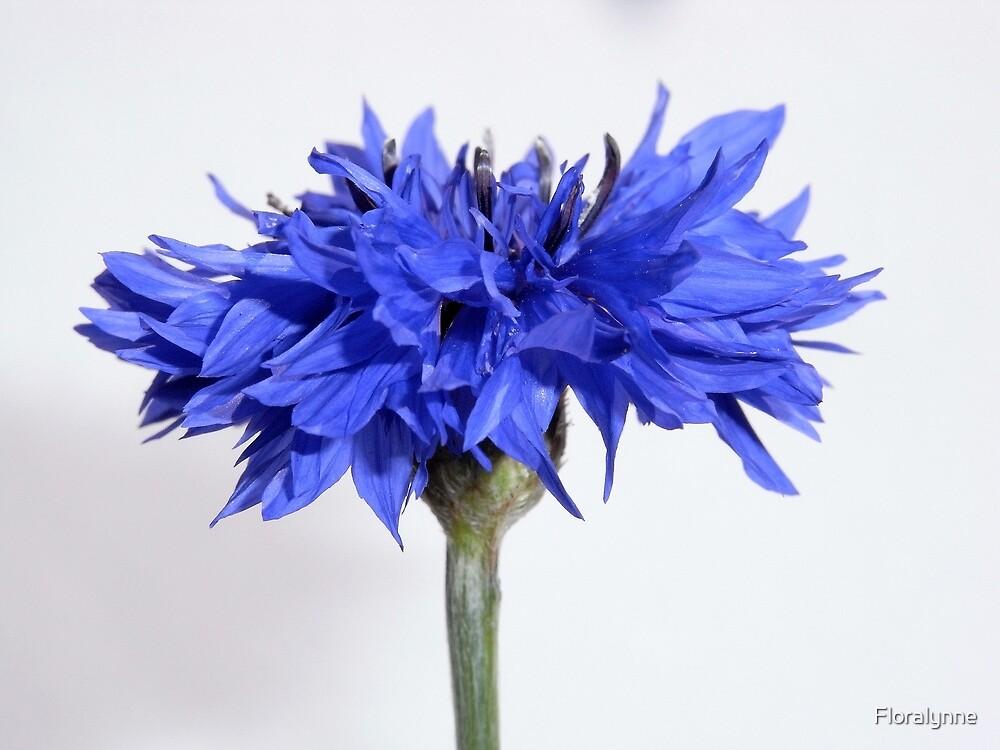 cornflower blue II by Floralynne