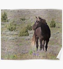 Steens Mountain Stallion Poster