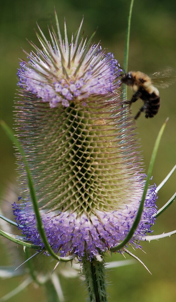 A Teasel and a Bee by bertspix