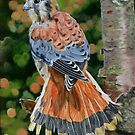 American Kestrel In My Garden by Phyllis Beiser