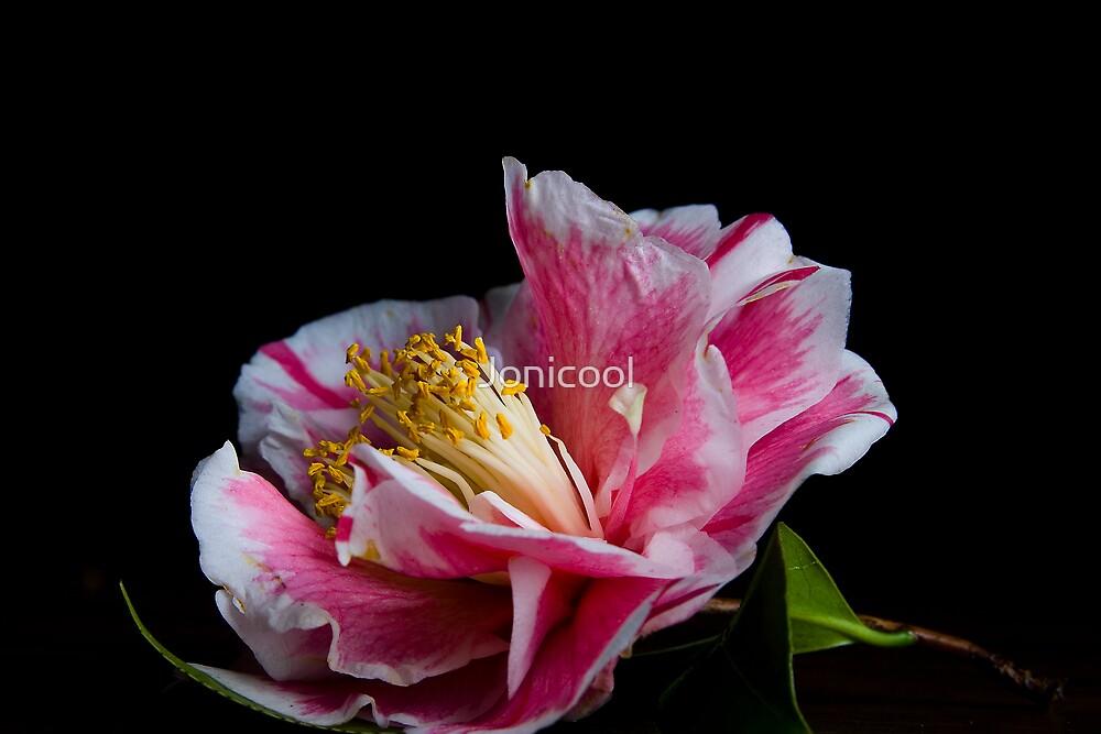 Camellia   by Jonicool