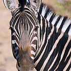 Chobe Zebra by Jennifer Sumpton