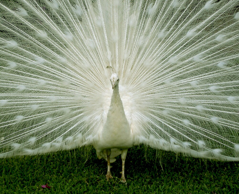 White Albino Peacock by Swede