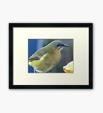 Bellbird close up! - New Zealand Framed Print