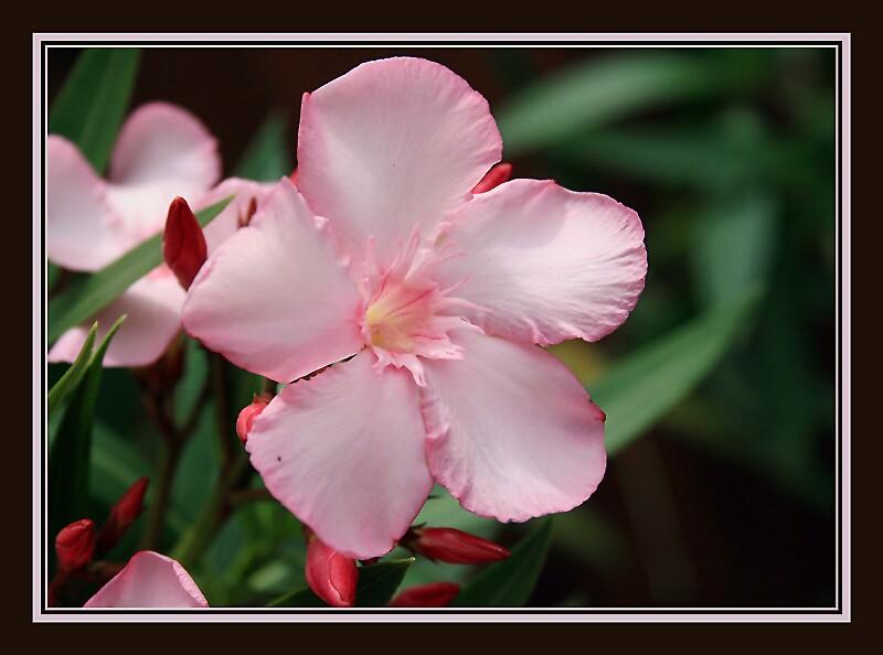 Framed Oleander by Debbie Sickler