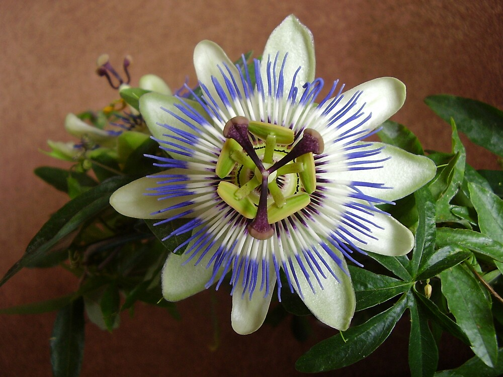 Passion Flower by sootyangel