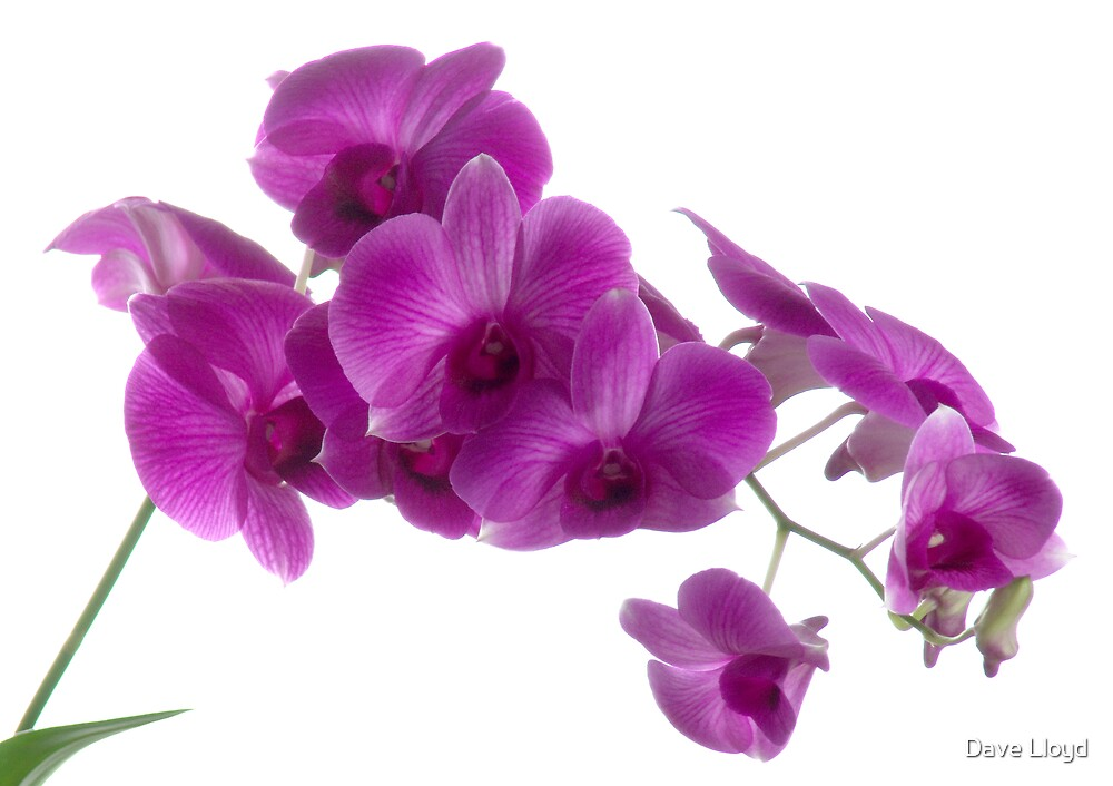 Orchid Light 3 by Dave Lloyd