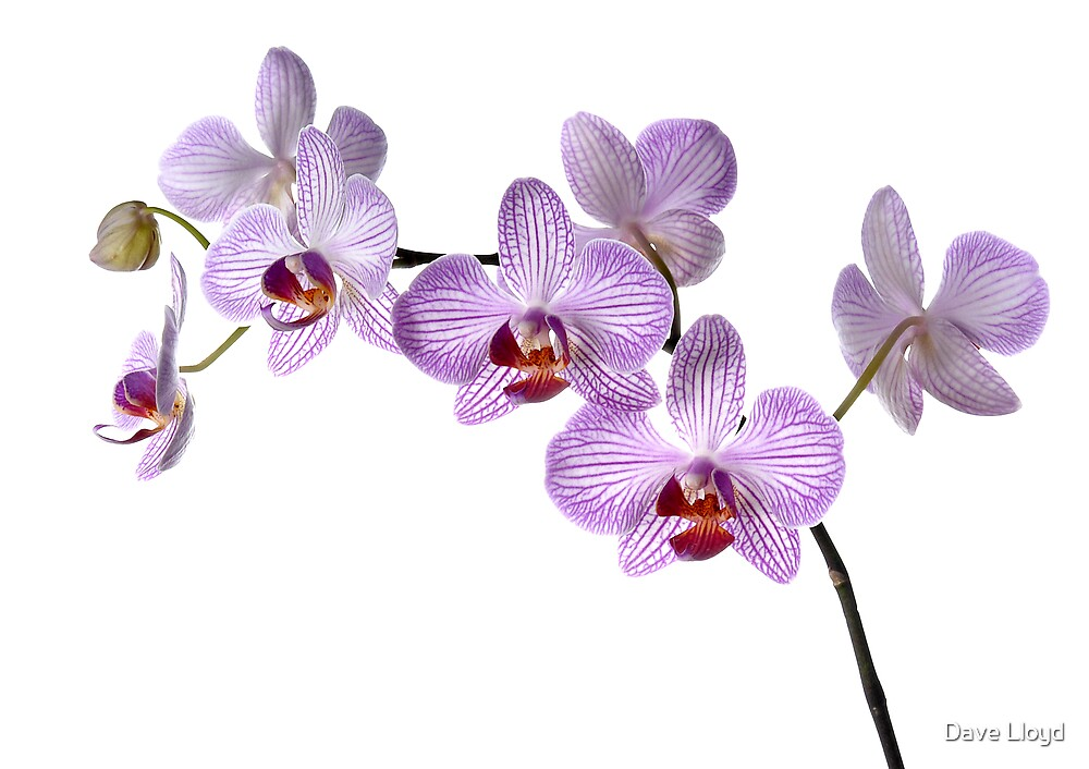 Orchid Light 4 by Dave Lloyd