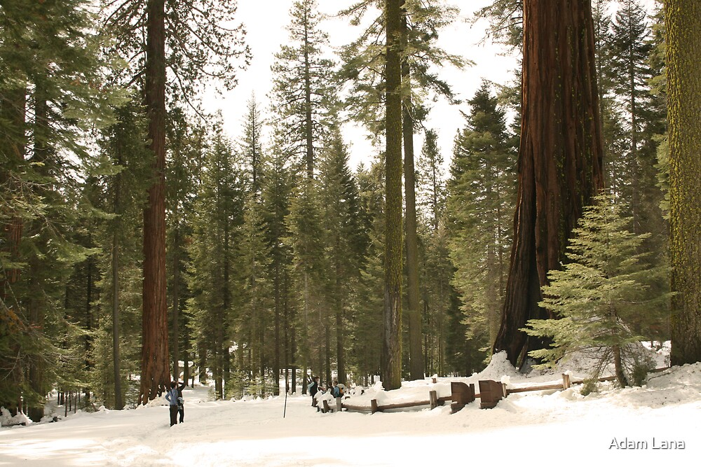 Sequoia Scale by Adam Lana