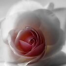 Soft Rose by Lynn Bolt
