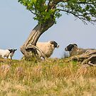 Scottish Blackface Sheep by M S Photography/Art