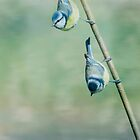 Blue Tits  by M.S. Photography/Art