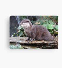 Small Clawed Otter Canvas Print
