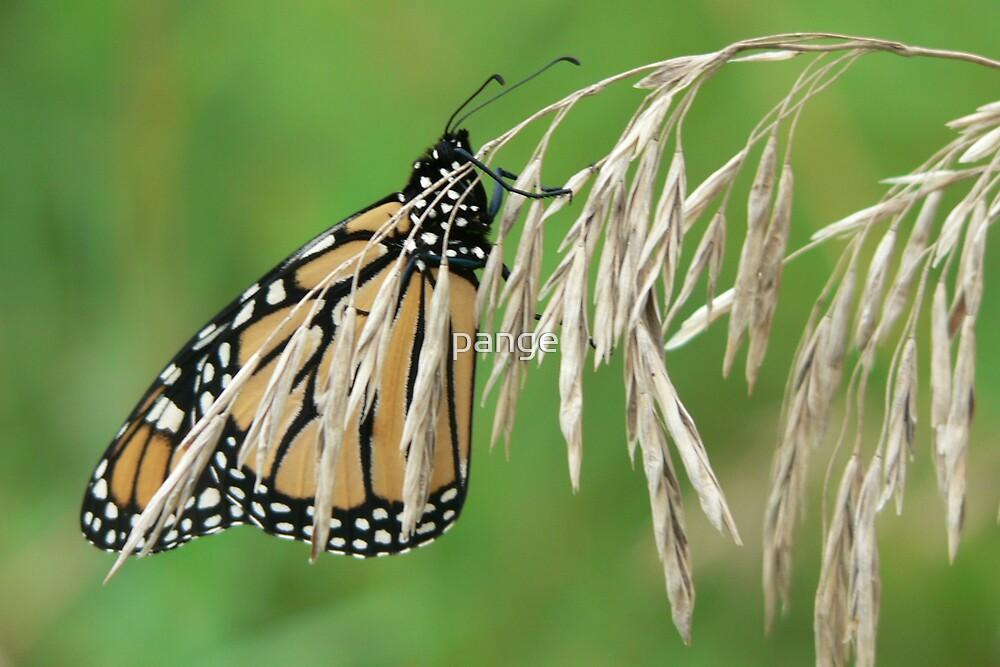Monarch by pange