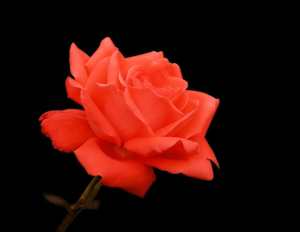 A Stately Rose by Jack Crockett