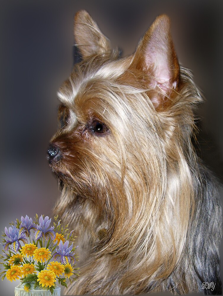 Yorkie Portrait by shadyuk